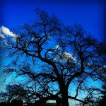 """Silhouette of southern red oak 2-123 as seen from the """"front porch"""" of MRB III"""