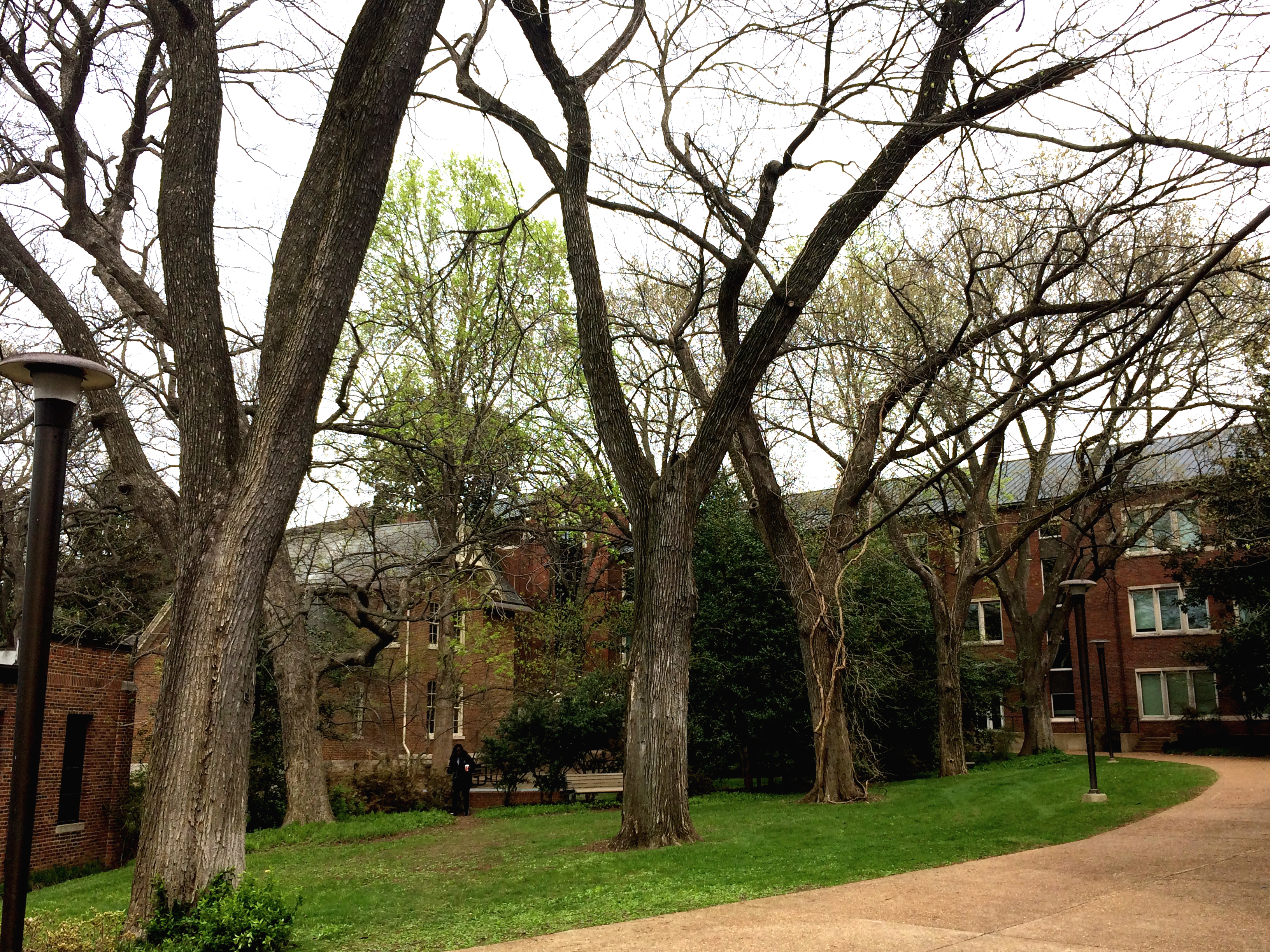 Hundred year-old elms near the Vaughn Home