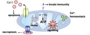 Mitochondria schematic pdf