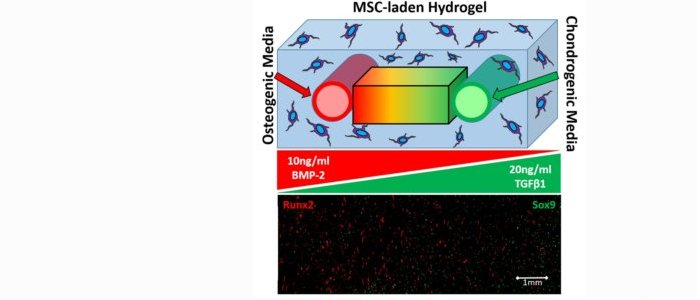 Brian's work demonstrates time-varying morphogen gradients in a 3D cell-laden hydrogel to pattern stem cell fate