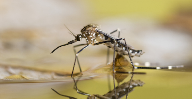 An Aedes japonicu mosquito rest on the water surface from which it just emerged.