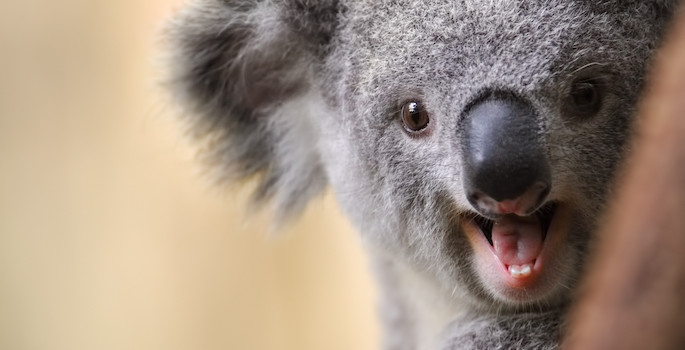 close-up of koala with mouth open, showing teeth