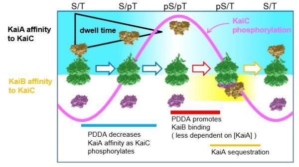 Chart showing difference between KaiA-KaiC and KaiB-KaiC bonding