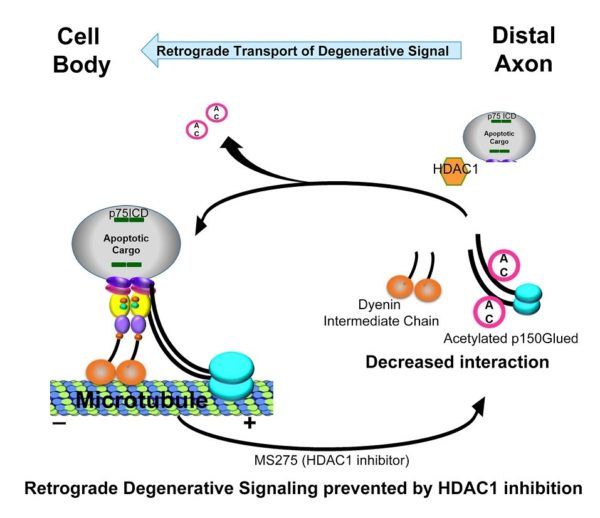 diagram showing retrograde degenerative signaling prevented by HDAC1 inhibition