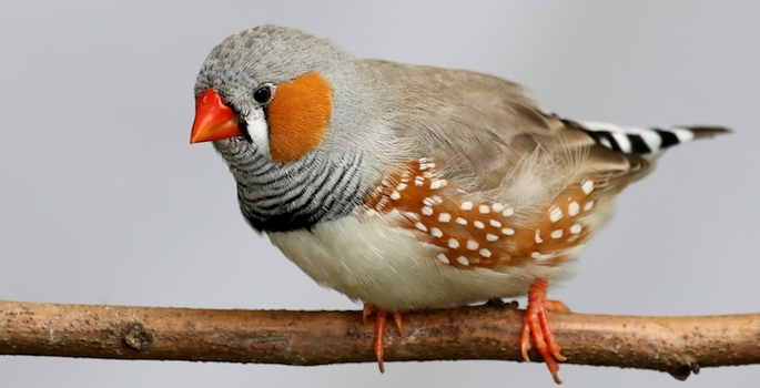 Male zebra finch perched on a branch