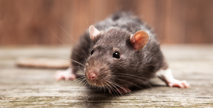 a brown rat sitting on a wood surface