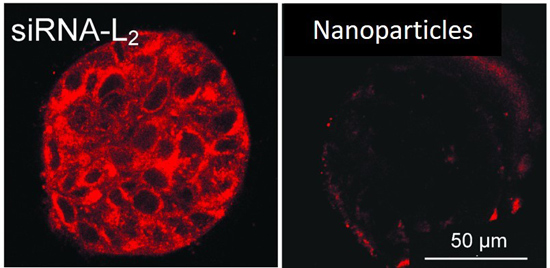 This microscopy photo demonstrates penetration of a fluorescent-labeled siRNA-L2 vs. synthetic nanoparticles into a three-dimensional tumor sample. (Vanderbilt University)