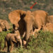 photo of elephants in tall grass wearing large white electronic collars