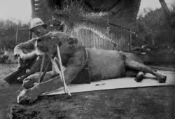 black and white photo of hunter posing beside dead lion