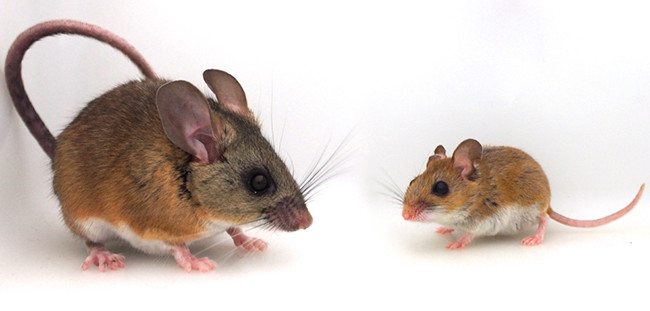two different mice