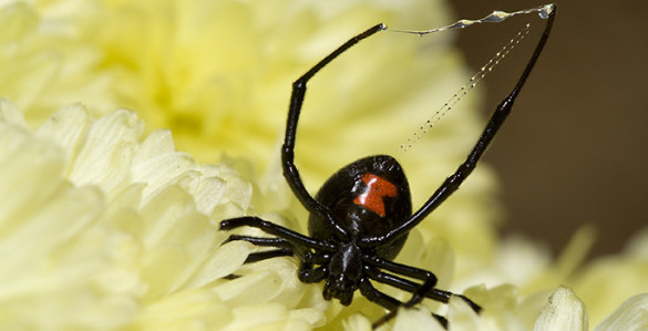 black widow close up