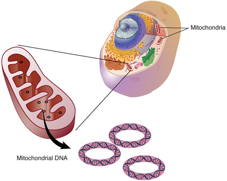 diagram of mitochondria within a cell
