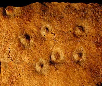 Conichnus burrows are trace fossils. The surface bumbs represent vertical tubes that were originally occupied by anemone-like animals that may have fed on Ediacaran larvae. (Simon Darrroch / Vanderbilt)