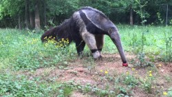 A giant anteater at the Nashville Zoo reaches for its treat.