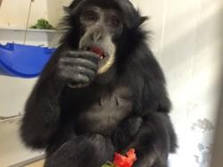 A siamang gibbon enjoys a Vanderbilt Commencement strawberry at the Nashville Zoo.