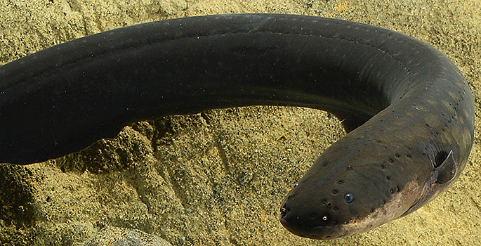 close up of electric eel