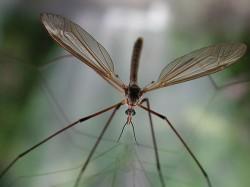 Crane fly closeup