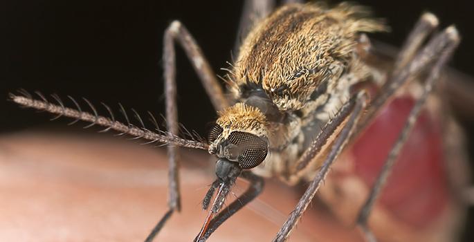 mosquito feeding on skin