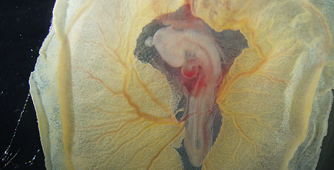 chick embryo