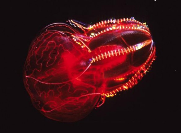 Red lobate ctenophore. (Wikipedia Commons)