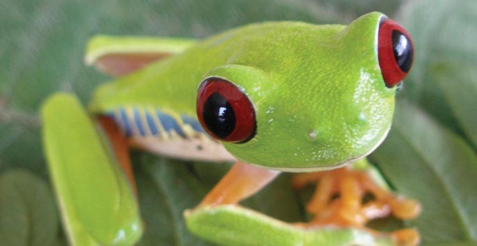 small adorable green frog with red eyes