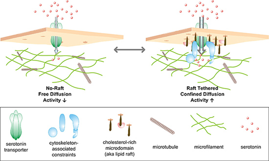 Illustration of two populations of serotonin transporters: Those tethered to rafts and those that move freely around the membrane. (Jerry Chang / Vanderbilt)