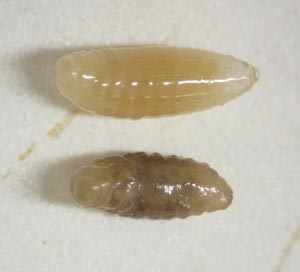 Two Nasonia larvae. The top larva is normal and the bottom larva is a hybrid. The biologists are comparing the bacterial colonies on normal and hybrid larvae to see if there are differences that account for the failure of the hybrids to develop. (Courtesy of Bordenstein Lab)