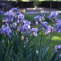 Irises on the Peabody College campus. (Vanderbilt University)