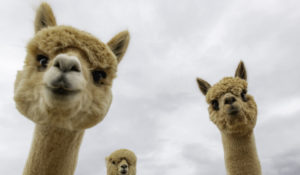 Meet the alpacas that are helping researchers who study autism, Alzheimer's and cancer
