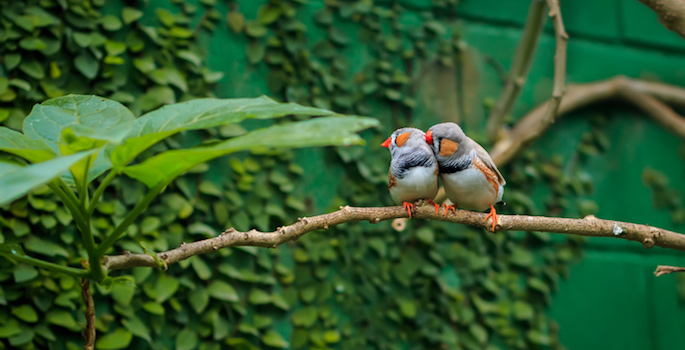 Zebra finch couple (Taeniopygia guttata) sitting on a branch