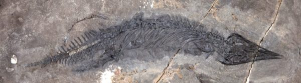 Fossil of thalattosaur
