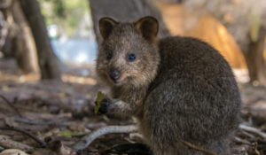 "Where are the quokkas? New study explains what happened to the ""happiest animal in the world"""