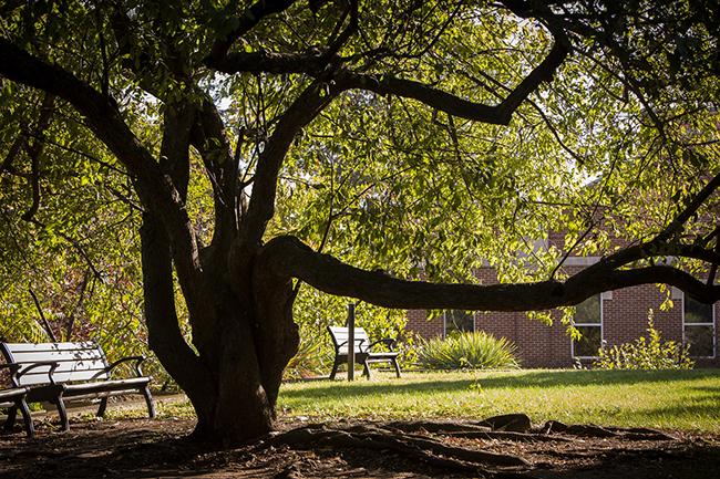 Tree on the Vanderbilt campus (Vanderbilt University)
