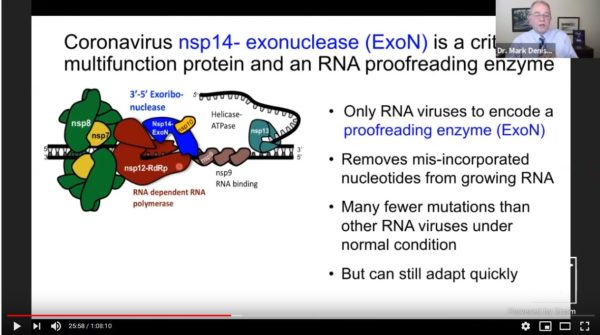 Coronaviruses are the only RNA viruses to encode a proofreading enzyme