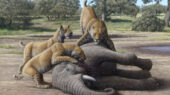 Diet of Homotherium sabertooth cat included baby mammoths, according to new research