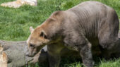 Vanderbilt researcher explains Pizzly bear hybrid species