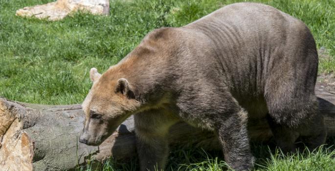 grolar bear pizzly bear
