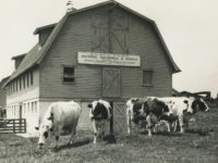 Peabody College's Knapp Farm dairy barn housing what was likely the first herd of purebred Holstein cows in the South.