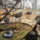 photo of turkeys at Dyer Observatory