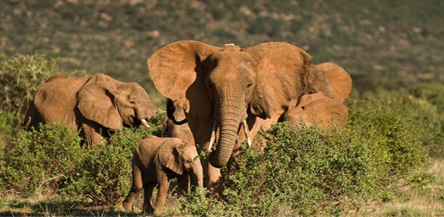 elephant collars