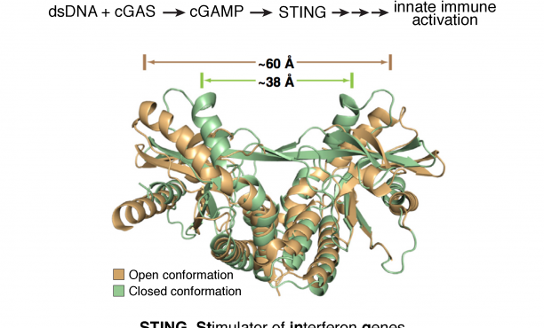 the cGAS-STING innate immune signaling pathway