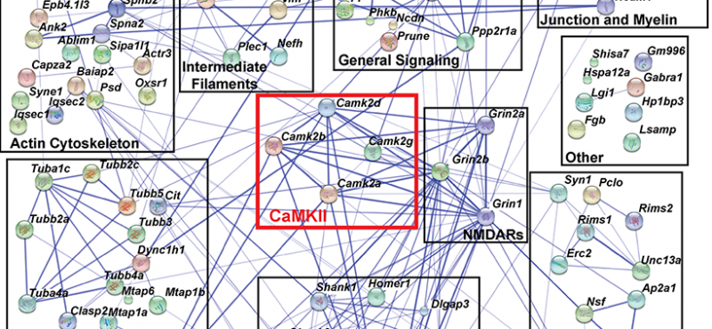 Network of CaMKII interactions