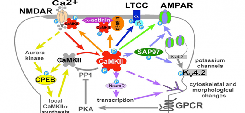 CaMKII signaling in postsynaptic spines