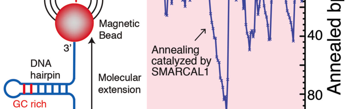 SMARCAL1 catalyzes DNA strand annealing in a single molecule assay