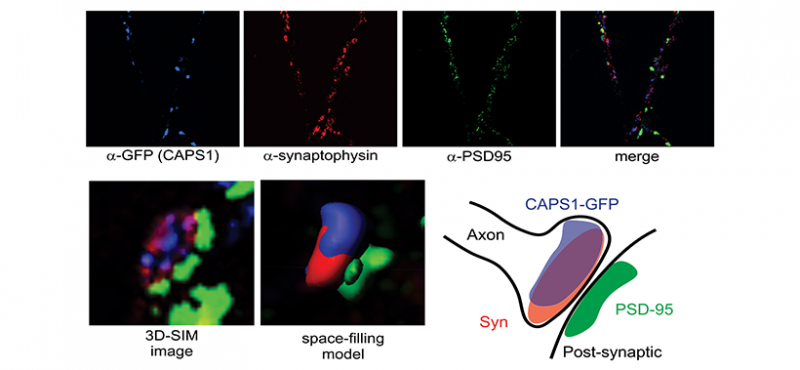 Three-dimensional structured illumination microscopy (3D-SIM) of CAPS1 in transfected neurons