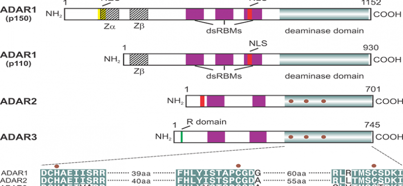 Adenosine deaminases acting on RNA (ADAR) isoforms