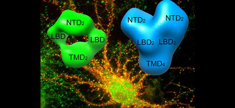 Biophysics of Ionotropic Glutamate Receptors (iGluRs)