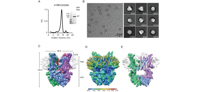 Cryo-EM structure of TRPC3