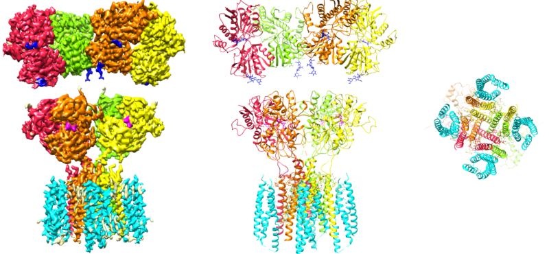 Cryo-EM structure of the AMPA receptor in complex with its auxiliary subunit cornichon