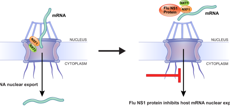Molecular basis for influenza virus NS1 protein block of mRNA nuclear export